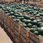 watermelons-ready-large-768x1024