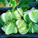 egyptian cabbages