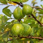 egyptian guavas